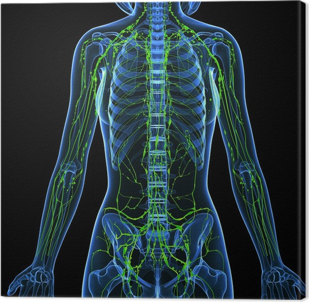 3d Anatomy Of Female Lymphatic System Canvas Print Pixers We