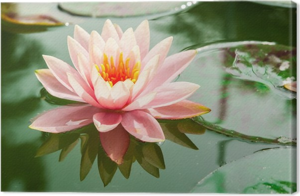 A beautiful pink waterlily or lotus flower in pond canvas print a beautiful pink waterlily or lotus flower in pond canvas print mightylinksfo