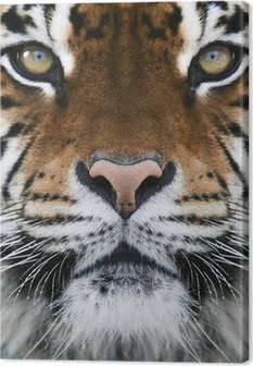 a tiger Canvas Print