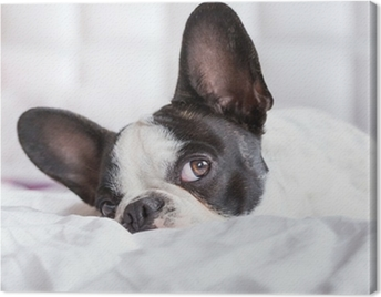 Adorable French bulldog puppy lying in bed Canvas Print