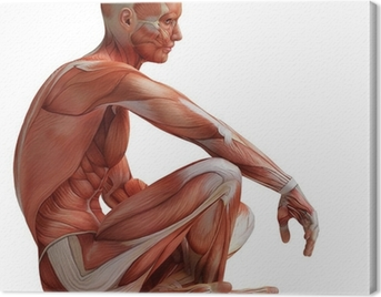 anatomy, muscles Canvas Print