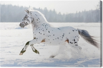 appaloosa pony runs free through the winter field Canvas Print