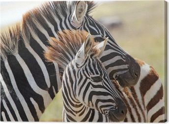 Baby zebra with mother Canvas Print