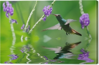 Beautiful hummingbird in reflection Canvas Print