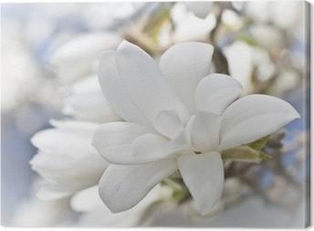 Beautiful magnolia blossom Canvas Print