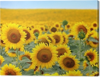 Beautiful sunflower field Canvas Print