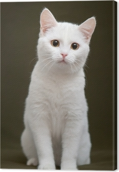Beautiful white cat with yellow eyes sitting on blanket Canvas Print