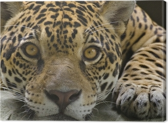 Big cat jaguar looking at the camera Canvas Print