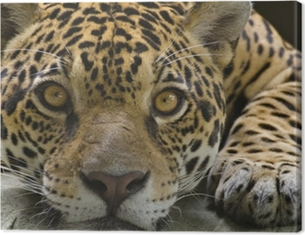 Big cat jaguar looking at the camera Canvas Print