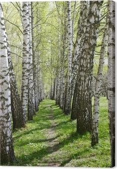 Birch-tree alley Canvas Print