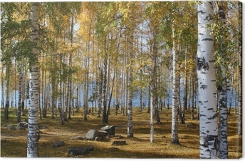 Birchwood forest in the fall Canvas Print