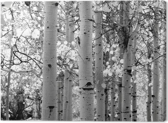 black and white image of aspen trees Canvas Print