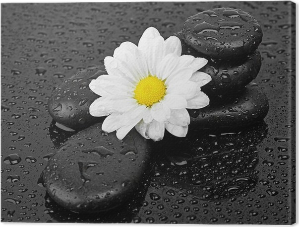 Black stones and white flower with water drops canvas print pixers black stones and white flower with water drops canvas print mightylinksfo