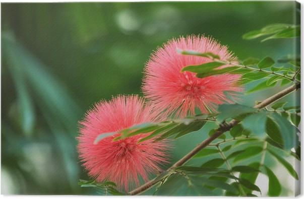 Bloomimg mimosa tree albizia julibrissin aka silk tree canvas bloomimg mimosa tree albizia julibrissin aka silk tree canvas print mightylinksfo