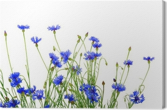 blue cornflowers Canvas Print