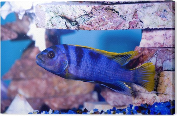 Blue fish gold fins canvas print pixers we live to change for Blue fish dental