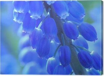 blue pearl hyacinth Canvas Print