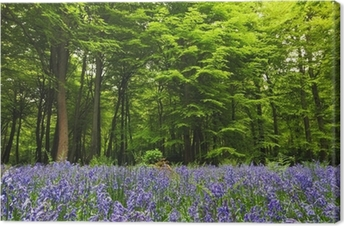 Bluebells in a woodland clearing Canvas Print