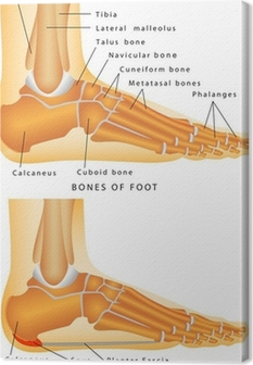 Bones of the Foot and Ankle Canvas Print