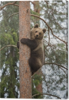 Brown bear climbing tree in Tiaga forest Canvas Print