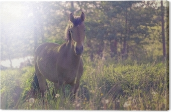 Brown horse in the middle of a meadow in the grass, the rays of the sun, toned. Canvas Print