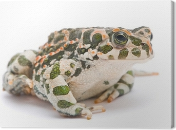 Bufo viridis. Green toad on white background. Canvas Print