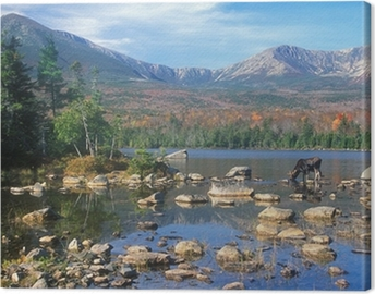 Bull Moose feeding in pond below Mount Katahdin, Maine Canvas Print