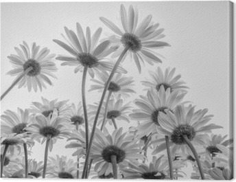 Close up of white flowers daisies Canvas Print