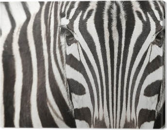 Close-up of zebra head and body with beautiful striped pattern Canvas Print