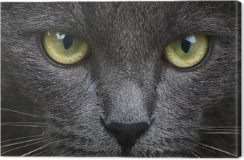 Close up portrait of grey kitten Canvas Print