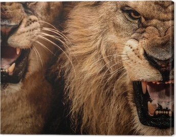 Close-up shot of two roaring lion Canvas Print