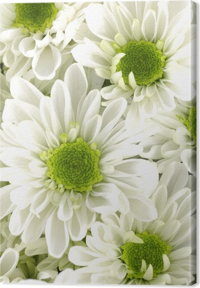 Close up white chrysanthemum flowers with green center canvas print close up white chrysanthemum flowers with green center canvas print mightylinksfo