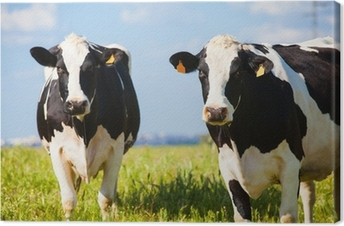 Cows at countryside in spring Canvas Print