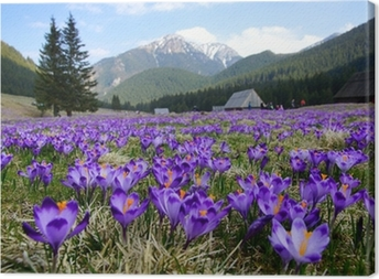 Crocuses in Chocholowska valley, Tatra Mountains, Poland Canvas Print