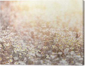 Daisy meadow Canvas Print