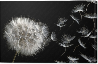 dandelion blowing seeds Canvas Print