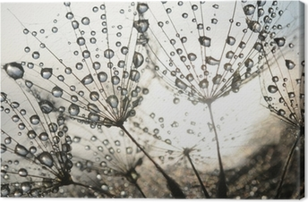 Dandelion seeds with dew drops Canvas Print