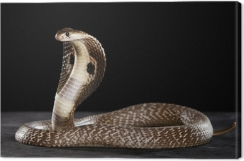 Deadly Cobra on table.. What a beauty Canvas Print