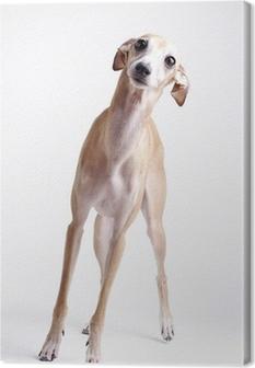 dog Italian greyhound Canvas Print
