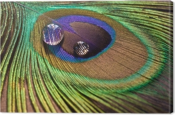 Drops on peacock's feather Canvas Print