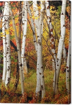 Fall Birch Trees Canvas Print