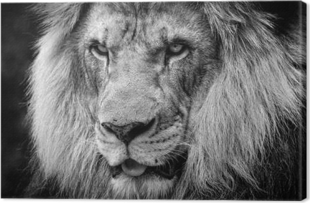 Ferocious stare of a powerful male african lion in black and white canvas print animals
