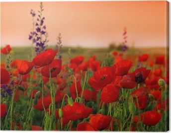 Field of poppies on a sunset Canvas Print