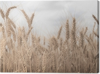 Field of wheat toned in sepia Canvas Print