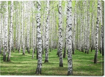 First spring greens in birch grove Canvas Print