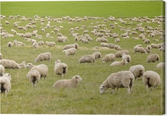 Flock of sheep in New Zealand Canvas Print