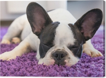 French bulldog sleeping on the carpet Canvas Print