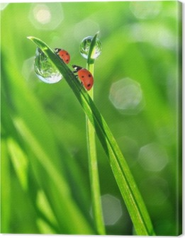 fresh morning dew and ladybirds Canvas Print