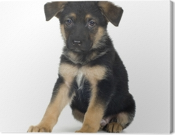 german shepherd (7 weeks)/ alsatian, police dog Canvas Print