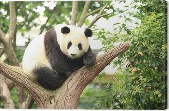 giant panda at forest Canvas Print